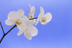 White orchid on light blue. Beautiful white orchid on blue background royalty free stock image