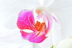 White orchid macro. Close up on a white and pink orchid flower Royalty Free Stock Photos