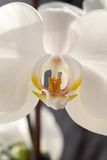 White orchid, macro photo closeup Royalty Free Stock Image