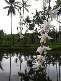 White orchid in mirror water royalty free stock image