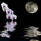 White orchid moon water reflection Royalty Free Stock Photo