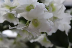 White orchid. Nice white orchid close-up blooming Royalty Free Stock Images