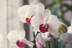 White Orchid opening on the window. Purple colour Royalty Free Stock Image