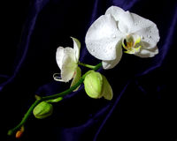 White orchid oriental style. White orchid on dark background oriental style Royalty Free Stock Images