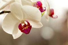 White Orchid. On pastel colored background with bokeh stock images