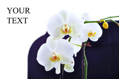 White orchid peace Stock Photos