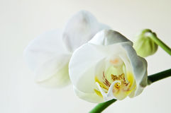 White orchid phalaenopsis. Over light background Stock Photos