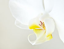 White orchid phalaenopsis. Over light background Royalty Free Stock Photos