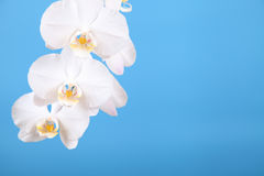 White orchid (Phalaenopsis) Royalty Free Stock Images