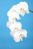 White orchid (Phalaenopsis) Stock Images