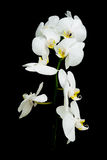 White orchid Phalaenopsis on a black background Royalty Free Stock Photography