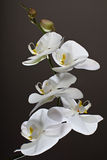 White Orchid, Phalaenopsis. On dark background Stock Photography