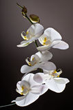 White Orchid, Phalaenopsis. On dark background Royalty Free Stock Photos