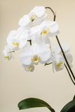 White orchid - phalaenopsis flower closeup Royalty Free Stock Image