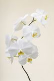 White orchid - phalaenopsis flower closeup Stock Photos