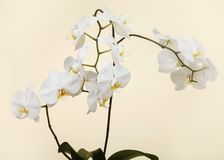 White orchid - phalaenopsis flower closeup Royalty Free Stock Photo