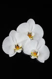 White orchid, phalaenopsis flowers on black Royalty Free Stock Image