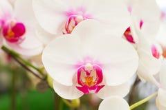 White orchid, Phalaenopsis Stock Image