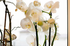 White orchid Phalaenopsis at home window. Decoration for home windows, gardens, flowerbeds stock images