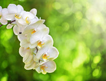 White Orchid. White Phalaenopsis Orchid or Moth Orchid against soft focus trees and sunlight stock images