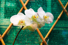 White orchid. The photo was taken in Hong Kong park Hongkong,China Royalty Free Stock Photos