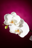 White orchid on pink background Stock Image