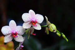 White orchid with pink dots Stock Images