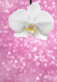 White orchid on pink glitter background Royalty Free Stock Photos