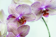 White Orchid Pink Spots. White Orchid with pink spots against a white background Royalty Free Stock Photo