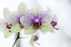 White Orchid Pink Spots Royalty Free Stock Images