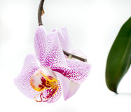 White orchid pink spots isolated Royalty Free Stock Image