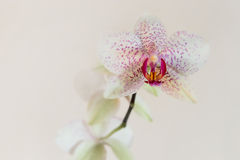 White orchid with pink spots Royalty Free Stock Image