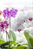 Orchid with colorful flowers stands on a window overlooking the city stock photo