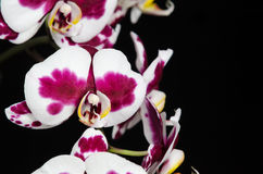 White orchid with purple center on black background Stock Photography