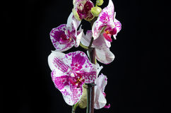 White orchid with purple center on black background Royalty Free Stock Images