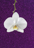 White orchid on purple glitter background Stock Images