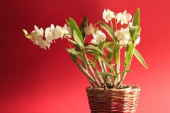 White orchid, red background. Sideway light Royalty Free Stock Photography