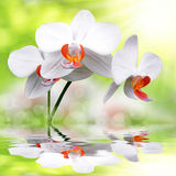 White orchid. Reflected on the water surface Royalty Free Stock Images