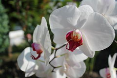 White orchid. In the rise of sun Stock Image