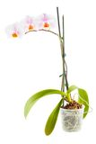 White Orchid. Room flower in transparent flowerpot. Isolated on white background stock images