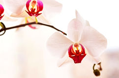 White Orchid`s Flowers Stock Photography