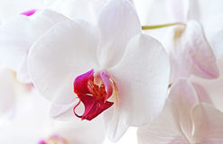 White Orchid`s Flowers Stock Photos