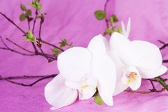 White Orchid Sprout. And Green Leaves on Purple Fabric Royalty Free Stock Image