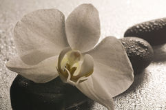 White orchid and stones over wet surface Stock Photo