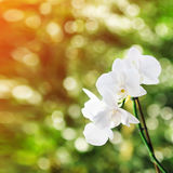White orchid in sunlight, green bokeh in background. Stock Photo
