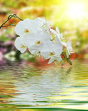 White Orchid on Surface Rippled of water and blur nature backgro Royalty Free Stock Photos