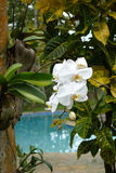 White orchid in the tropical garden. Large white orchid growing on a tree in a tropical garden royalty free stock photos