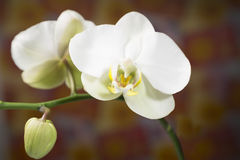 White orchid. On unfocused Stock Images