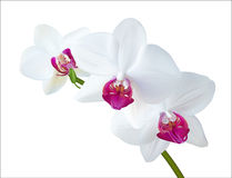 White Orchid. Vector illustration of white orchid isolated on white. EPS10 Royalty Free Stock Image