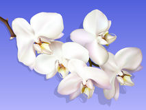 White orchid on a violet background Stock Photography